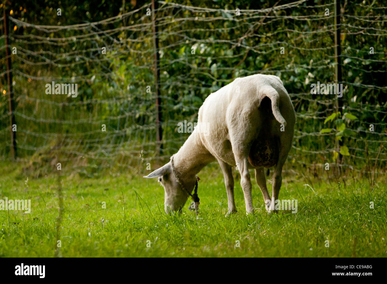Sheep grassing in green field. - Stock Image