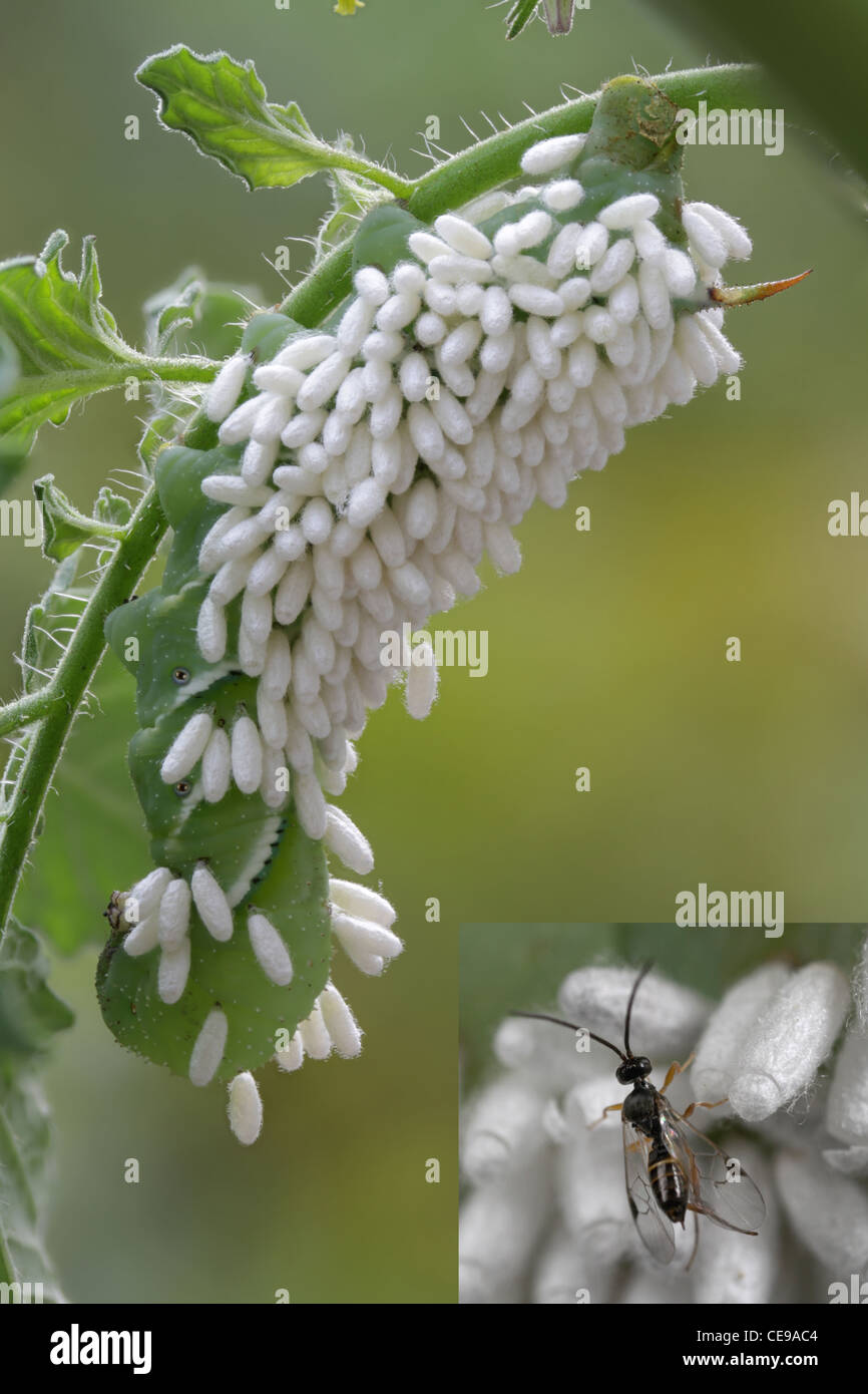 Caterpillar of the tobacco hornworm moth covered in cocoons of a parasitoid wasp, Cotesia, sp. Inset photo shows - Stock Image