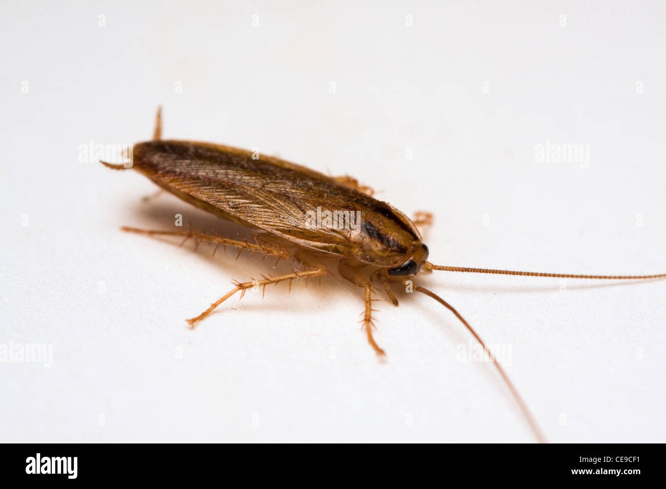 Adult Cockroach Stock Photos & Adult Cockroach Stock Images - Alamy