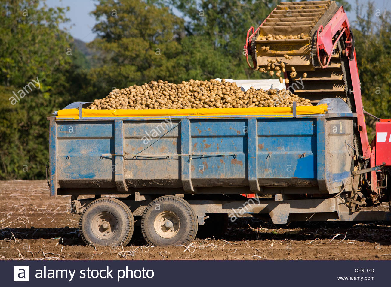 Potatoes being emptied into trailer in sunny, rural field Stock Photo