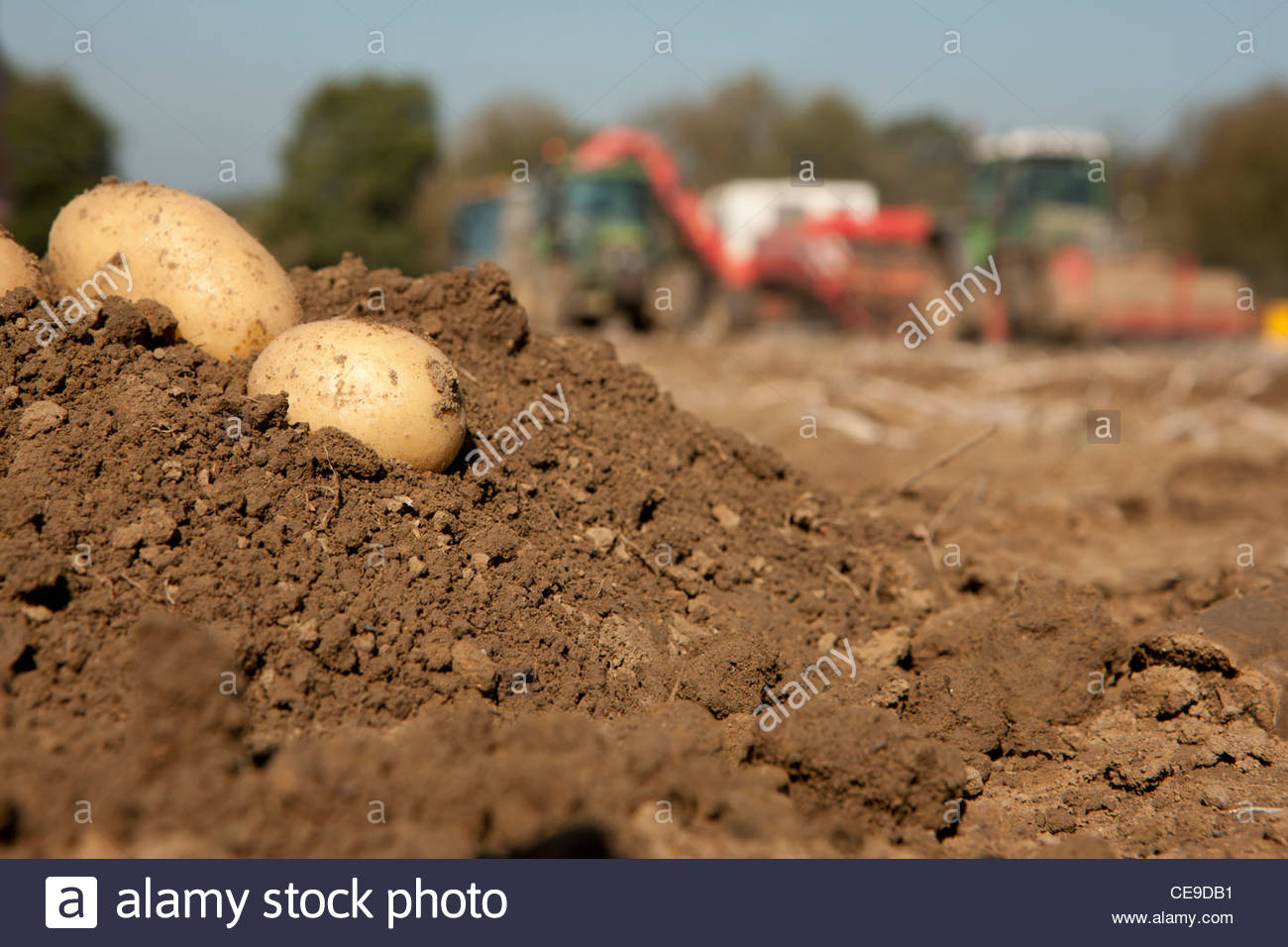 Close up of potatoes on mound of dirt in sunny, rural field with tractors in background - Stock Image
