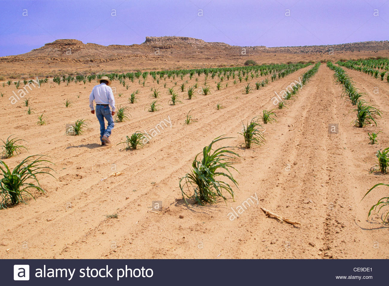Hopi Indian farmer, dry farming in his cornfield during ...1300 x 957 jpeg 256 КБ