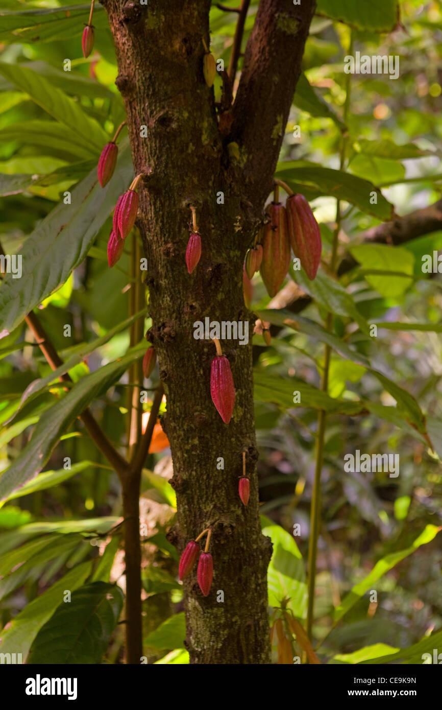 Cacao (Theobroma cacao) growing at the McBryde Garden in Kauai Stock ...