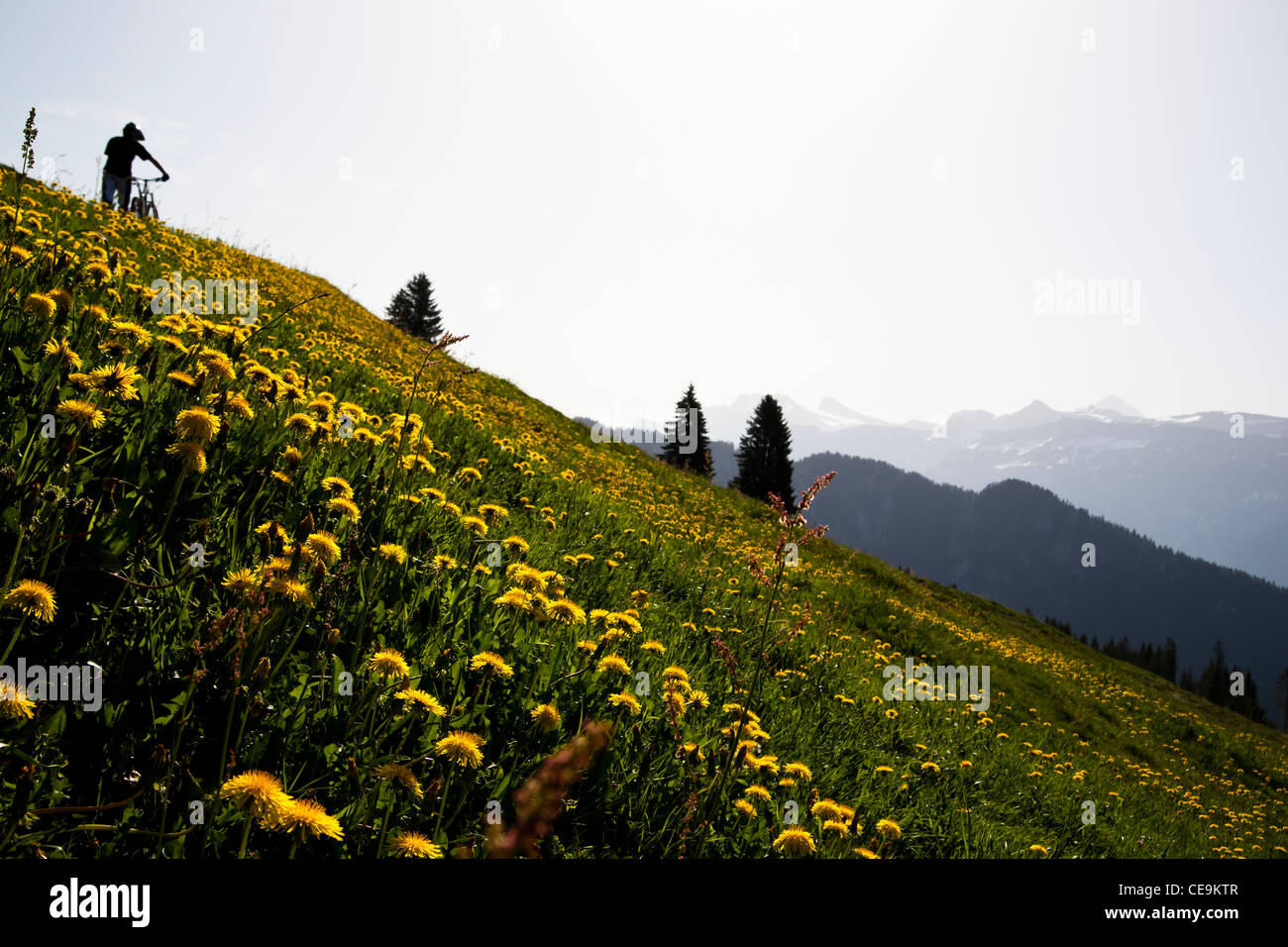 Mountainbiker walking his bike up the hill with flowerfield in foreground, Interlaken, Switzerland - Stock Image