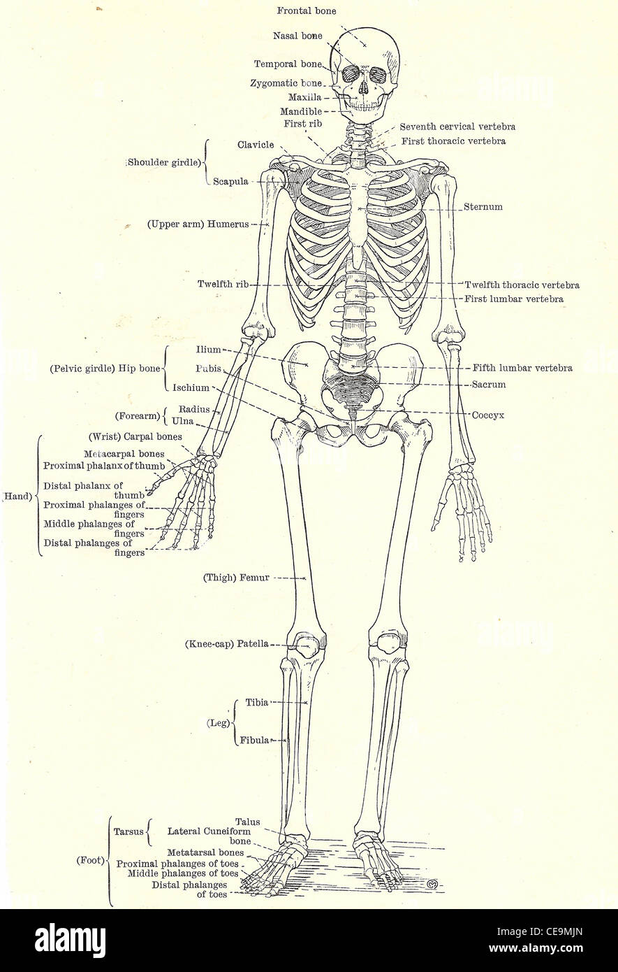 Human Skeleton Full Frontal View From An Early 20th Century