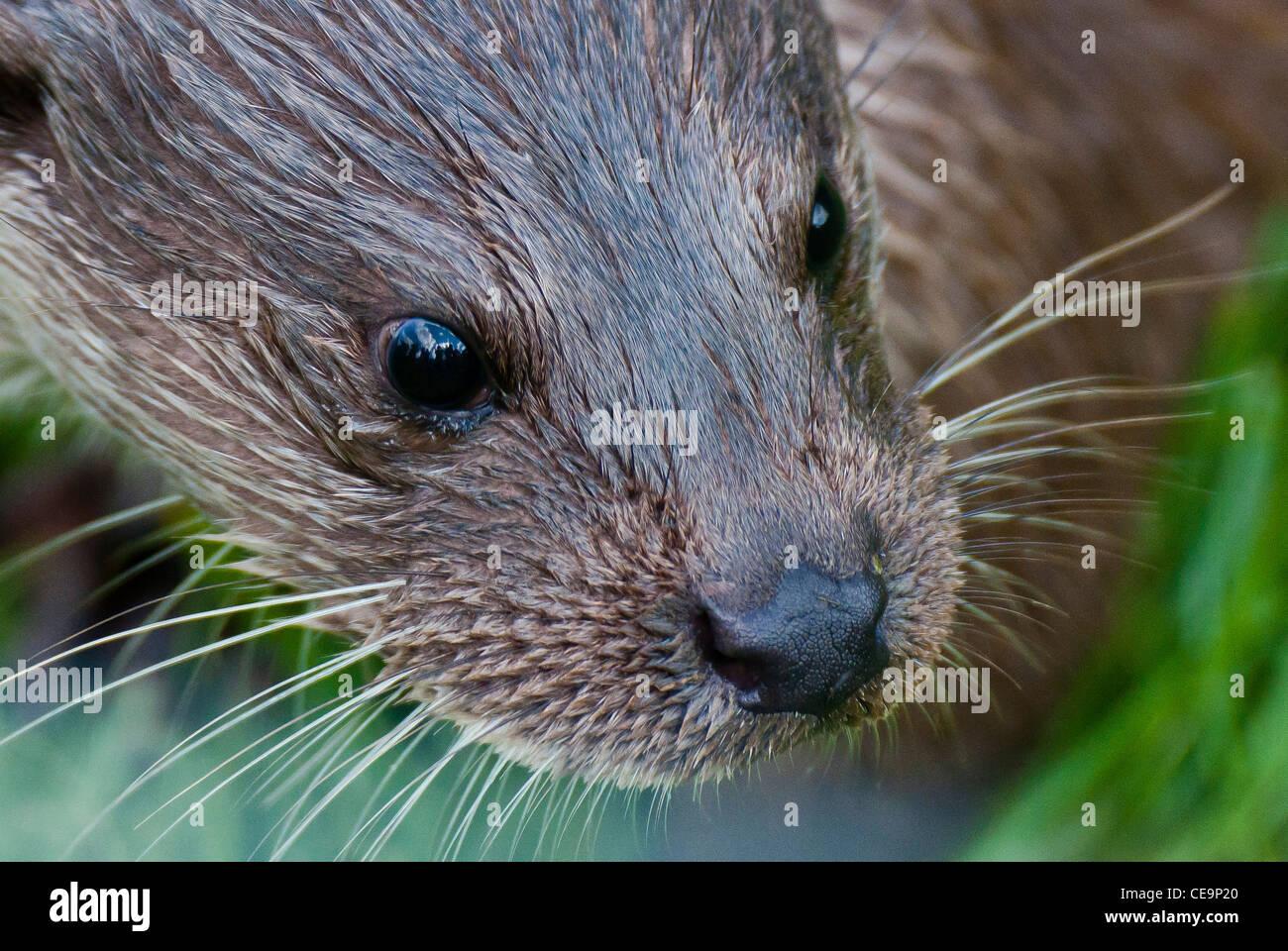 European (or Eurasian) otter (Lutra ultra) - Stock Image