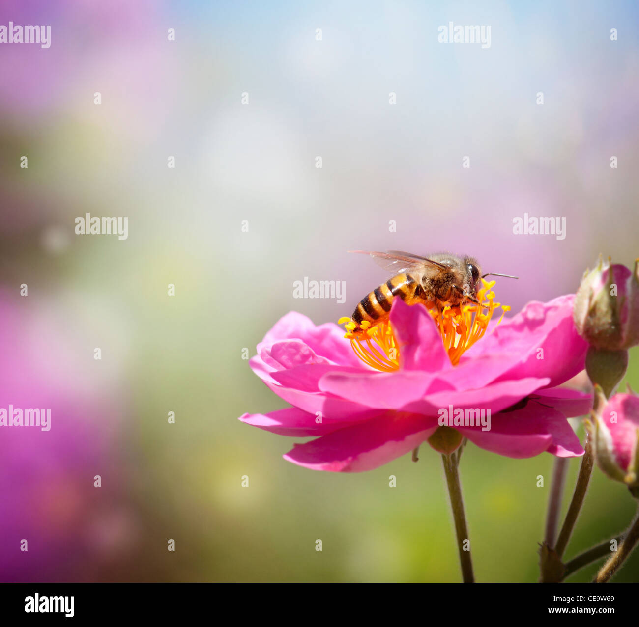 Close up bee collecting honey on pink flower - Stock Image