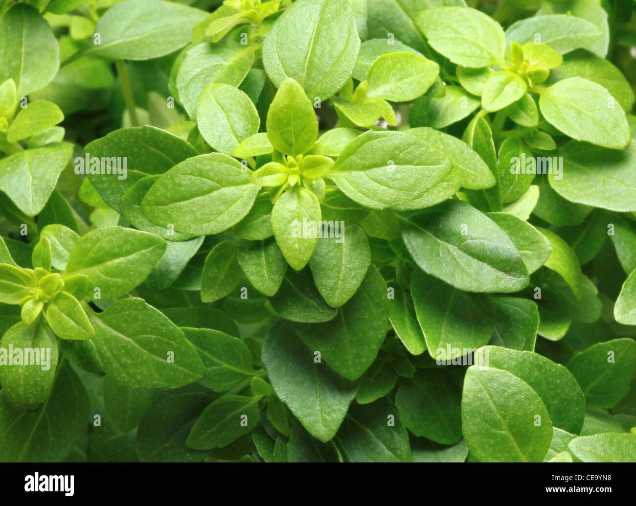 Basil Plant - Stock Image