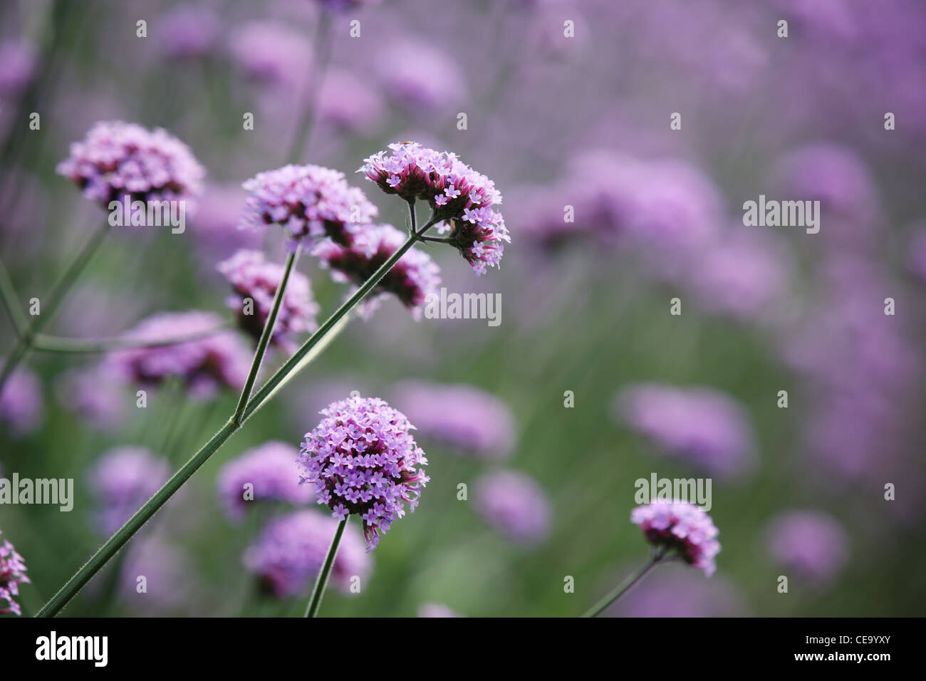 Nature beautiful flower buds stock photos nature beautiful flower purple flowers on beautiful bokeh background stock image izmirmasajfo