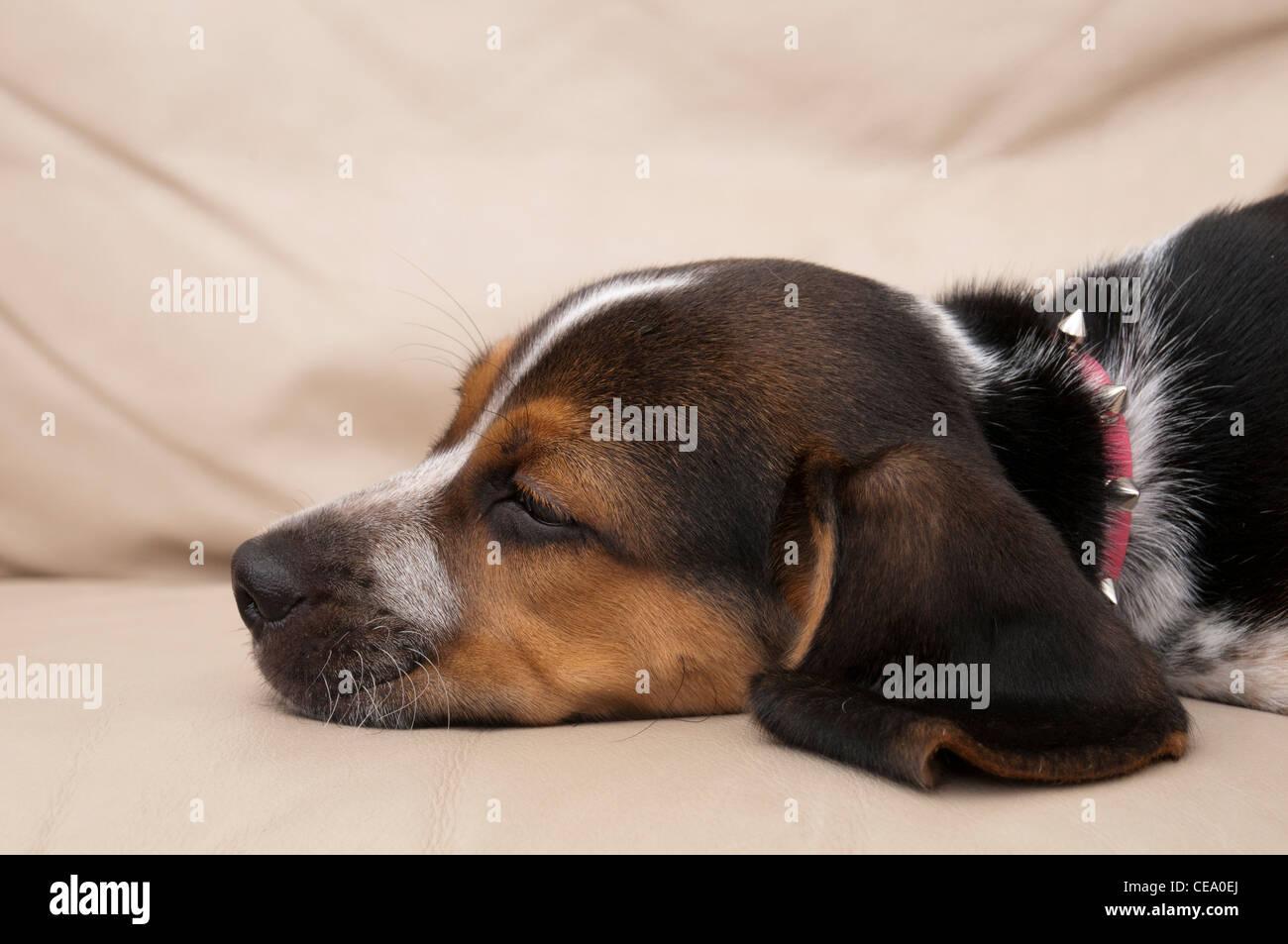 Beagle Sleeping - Stock Image