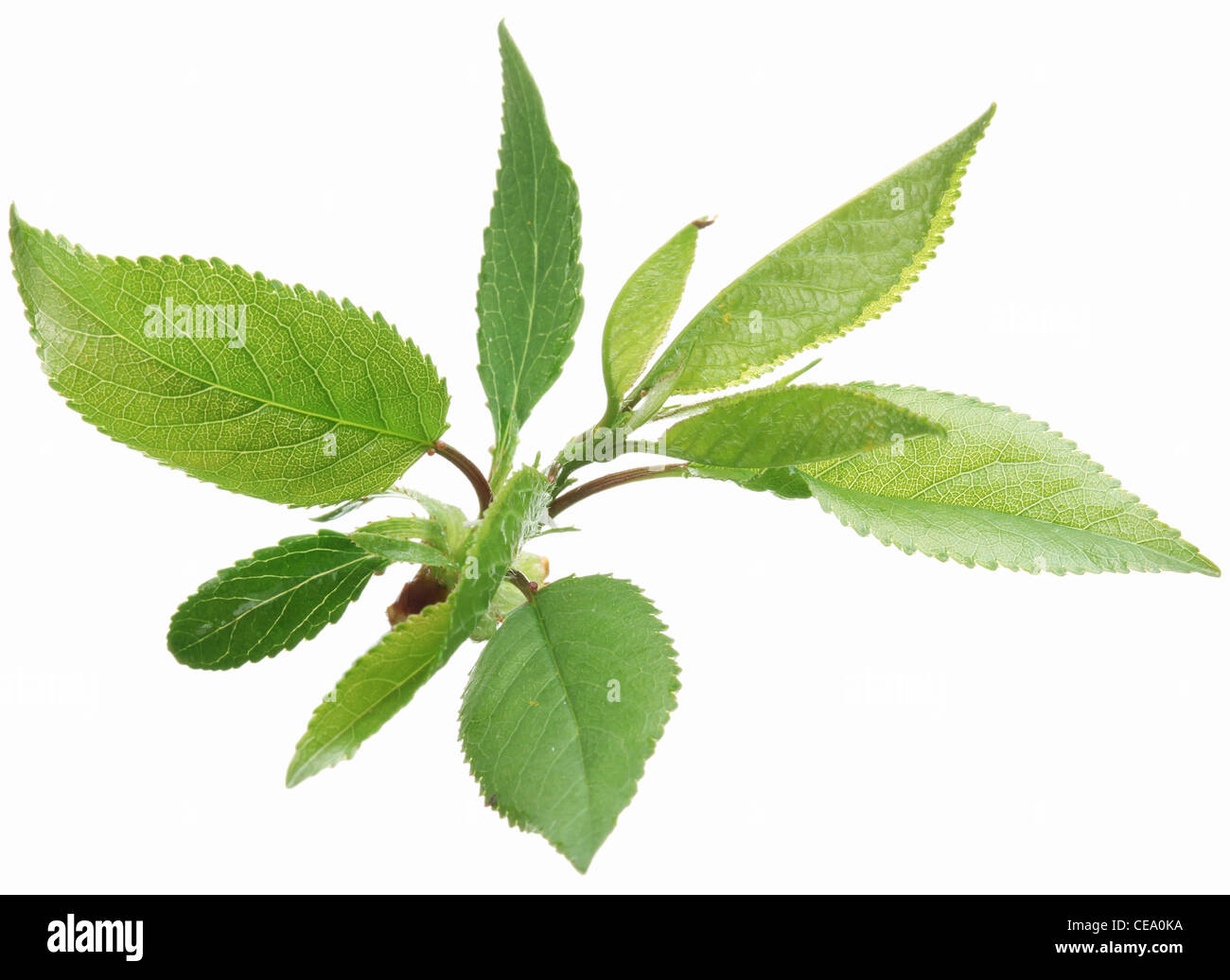 Gentle spring leaves on a white background. - Stock Image