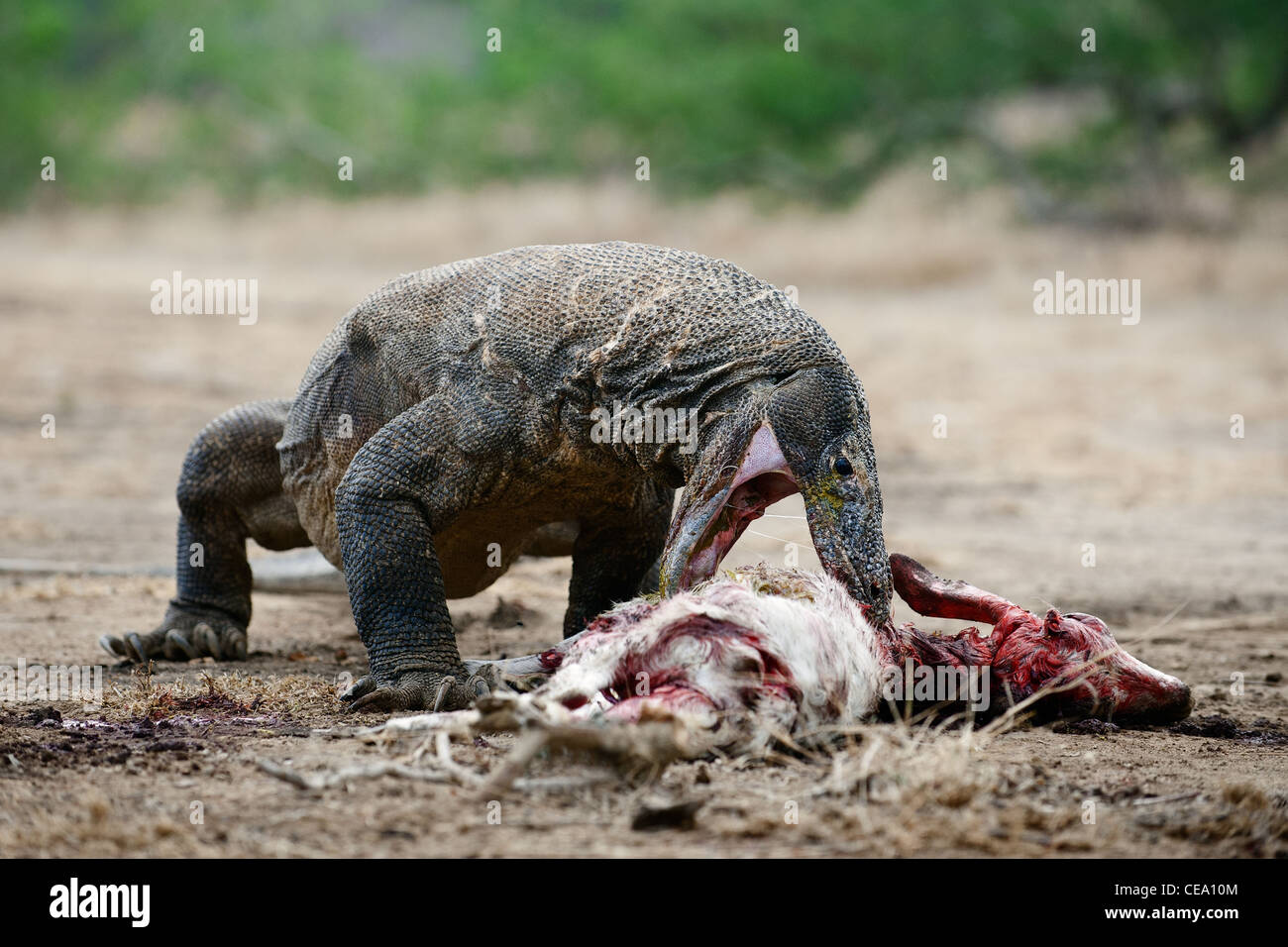 The Komodo dragon eats a victim. - Stock Image
