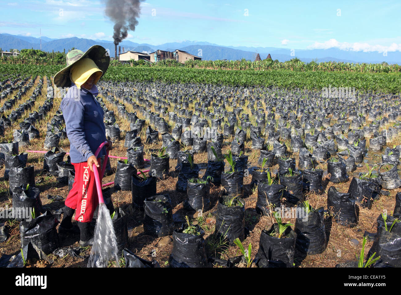 A woman waters young palm oil plants at a nursery with palm oil refinery in the background. Binjai, North Sumatra, - Stock Image