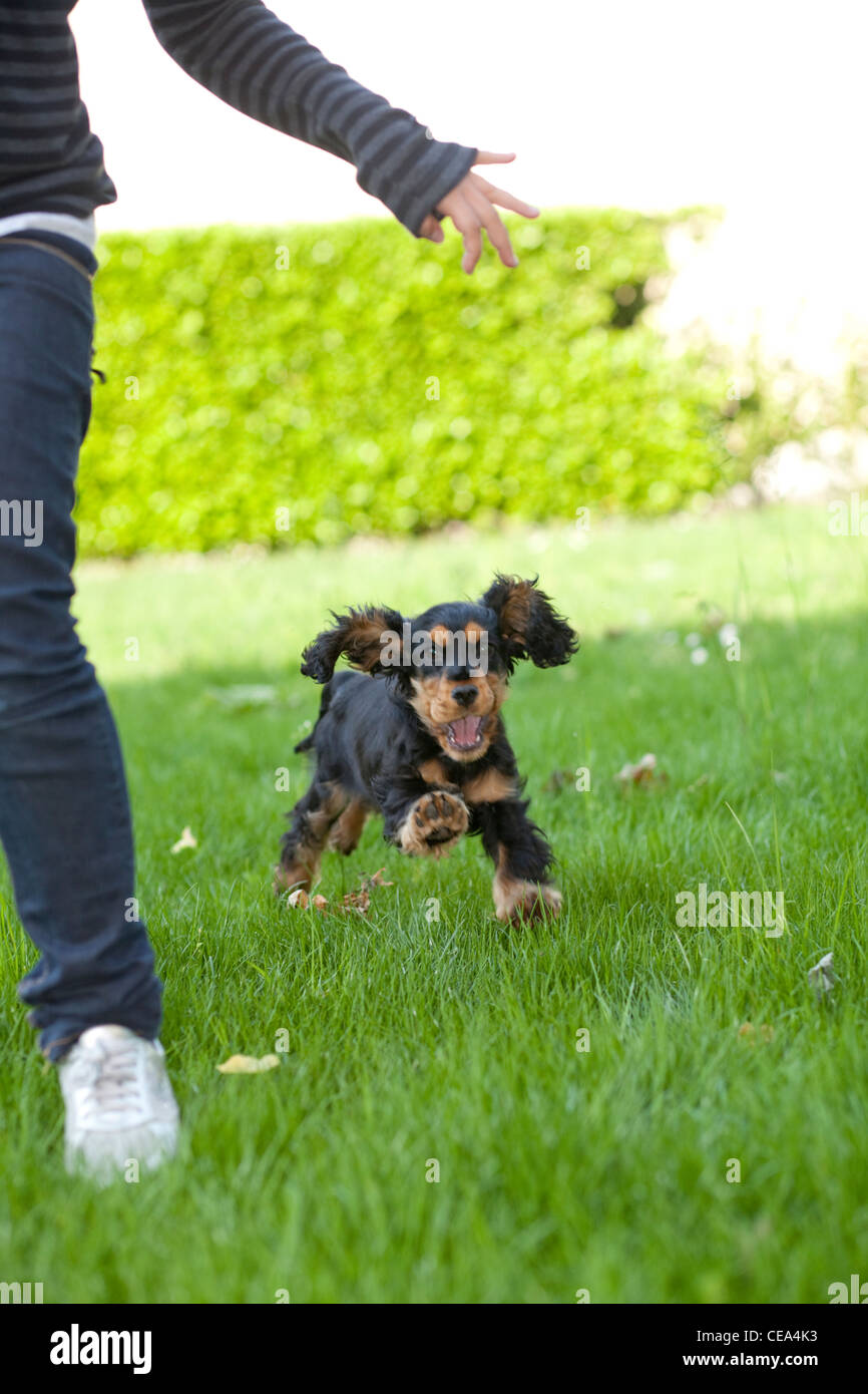Child playing with puppy English cocker spaniel black tan color in the garden - Stock Image