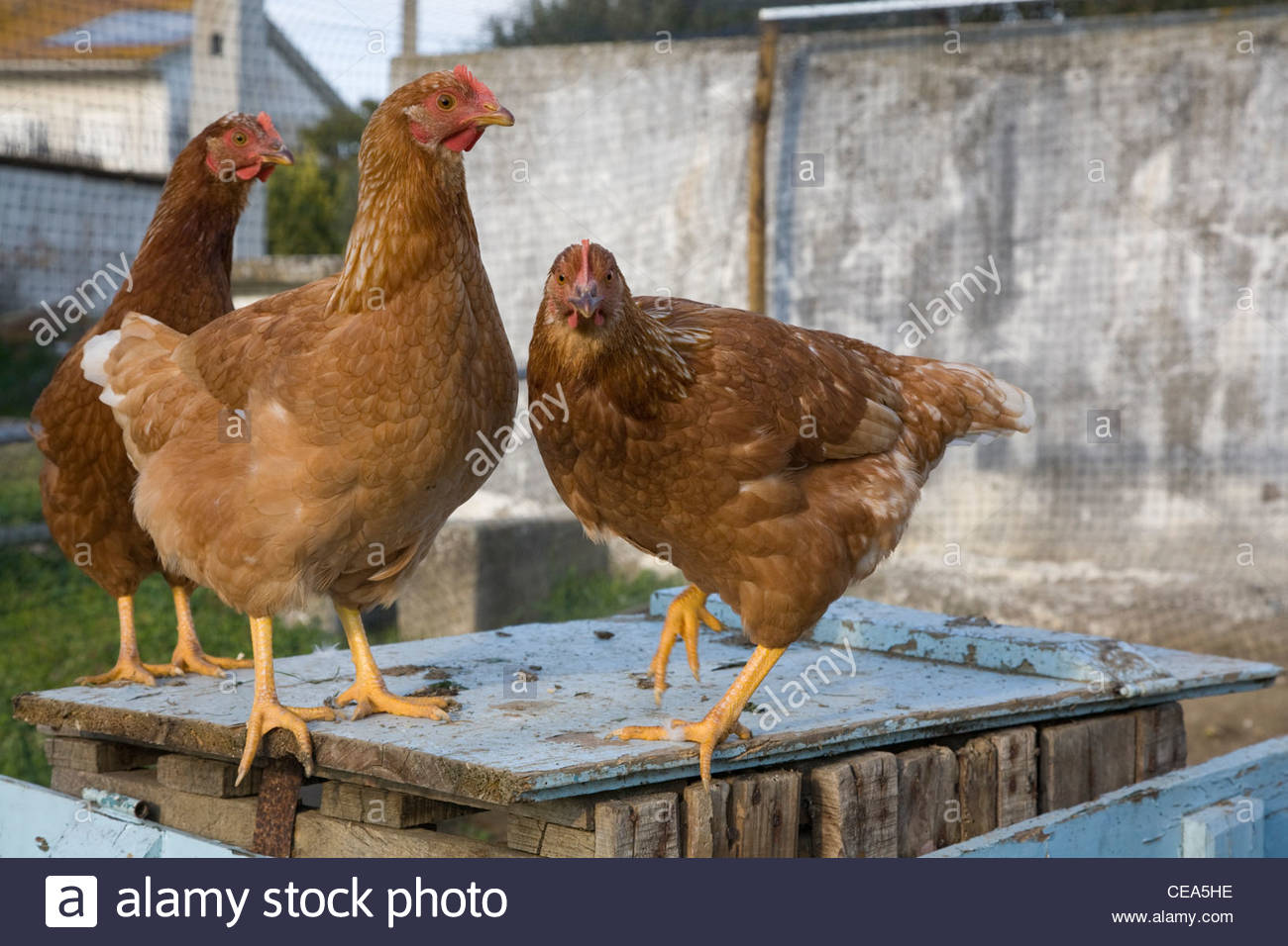 free range chickens on smallholding in Portugal standing on a wooden box - Stock Image