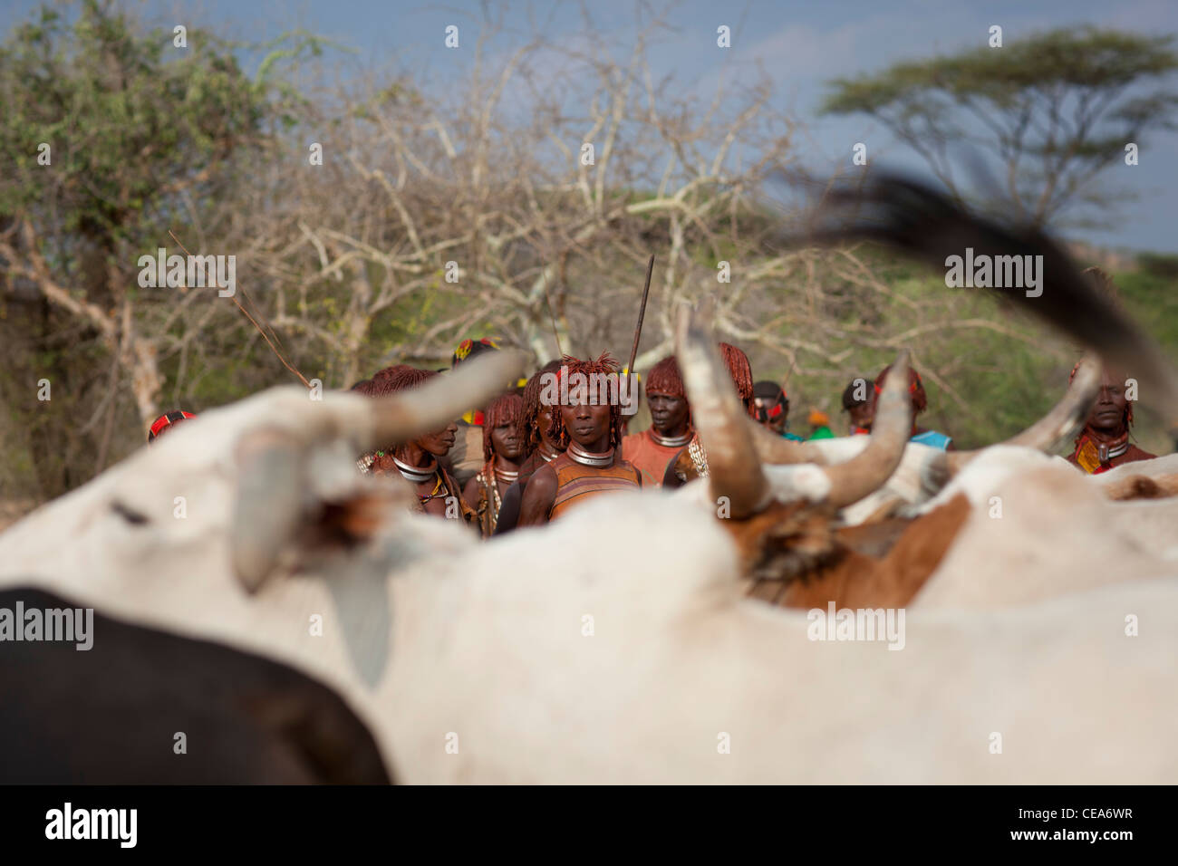 Hamer People Celebrating Bull Jumping Ceremony By Traditional Ritual Dances And Music Omo Valley Ethiopia - Stock Image