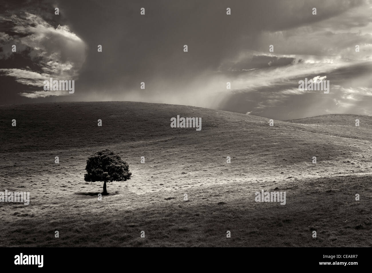 Lone tree in pasture. Hawaii, The Big Island. - Stock Image