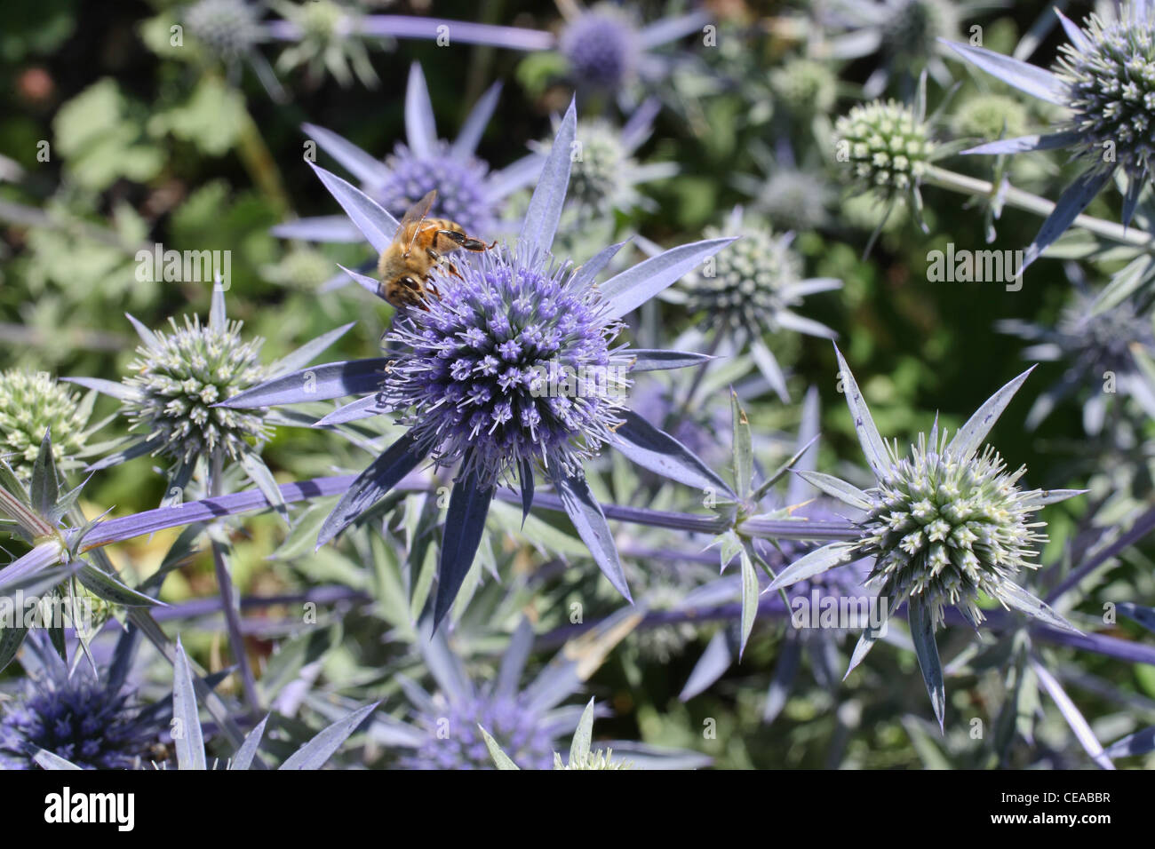 spiky purple and green flowers with bee collecting pollen - Stock Image