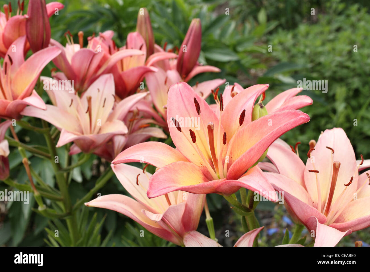 Beautiful pink lily flowers growing in a garden stock photo beautiful pink lily flowers growing in a garden izmirmasajfo