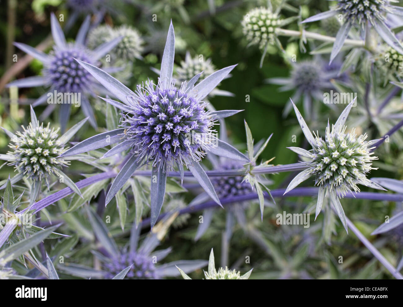 Unique Purple And Blue Spiky Flowers Growing In A Patch Stock Photo