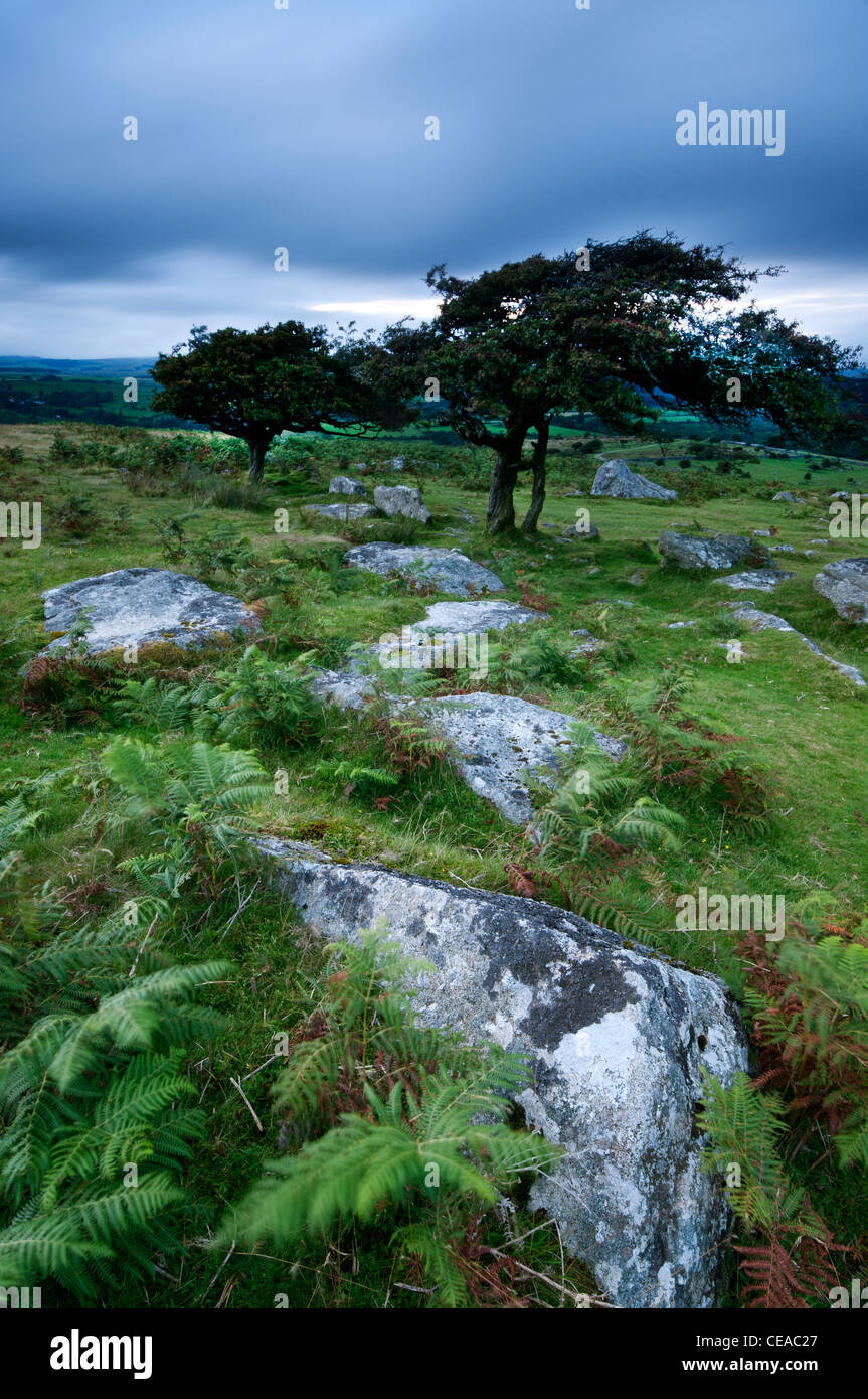 Evening light on rocks and Hawthorn Tree at Combestone Tor, Dartmoor, Devon, August 2011. - Stock Image