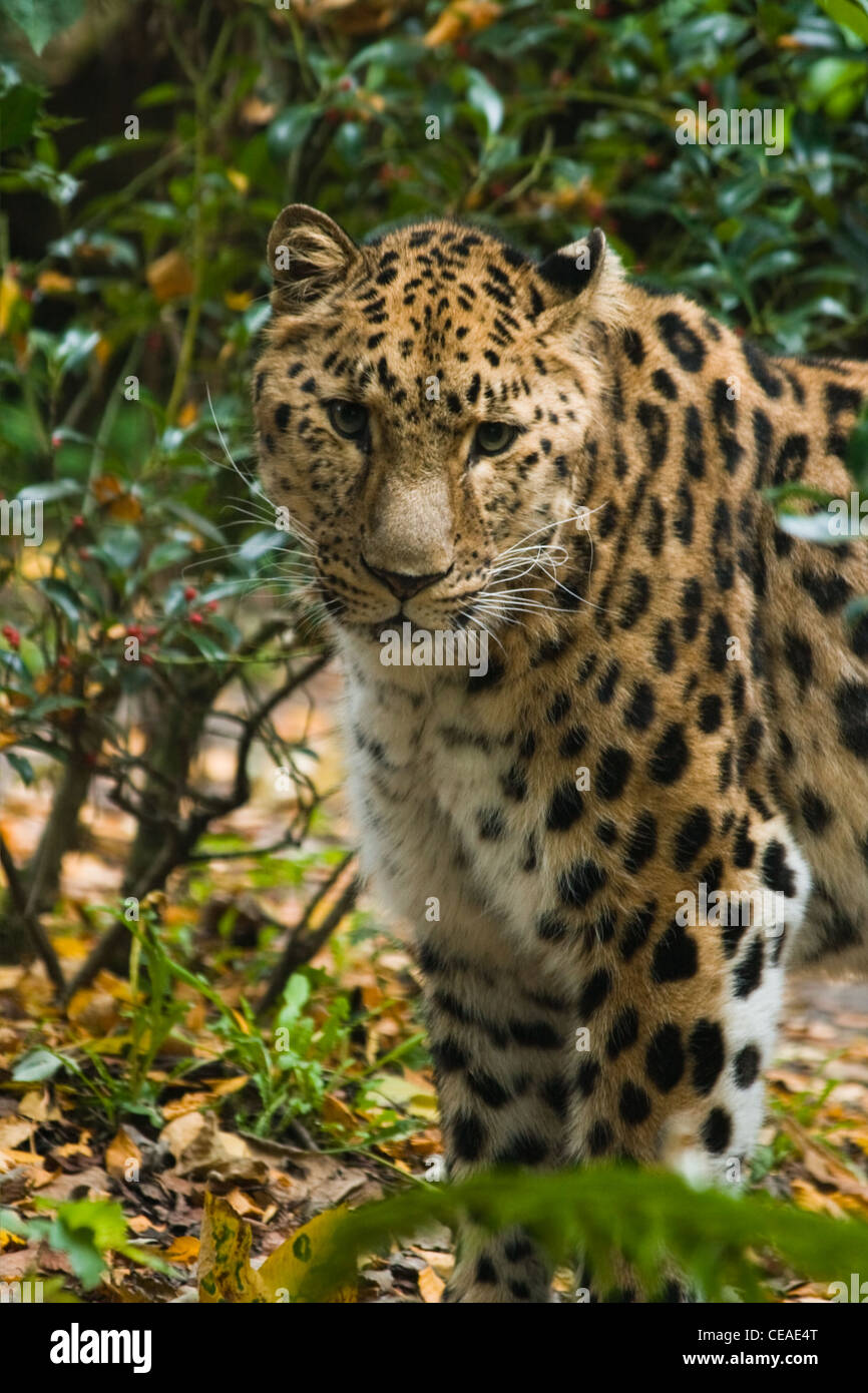 Amour panther or Panthera pardus orientalis (amurensis) standing between bushes - vertical image - Stock Image