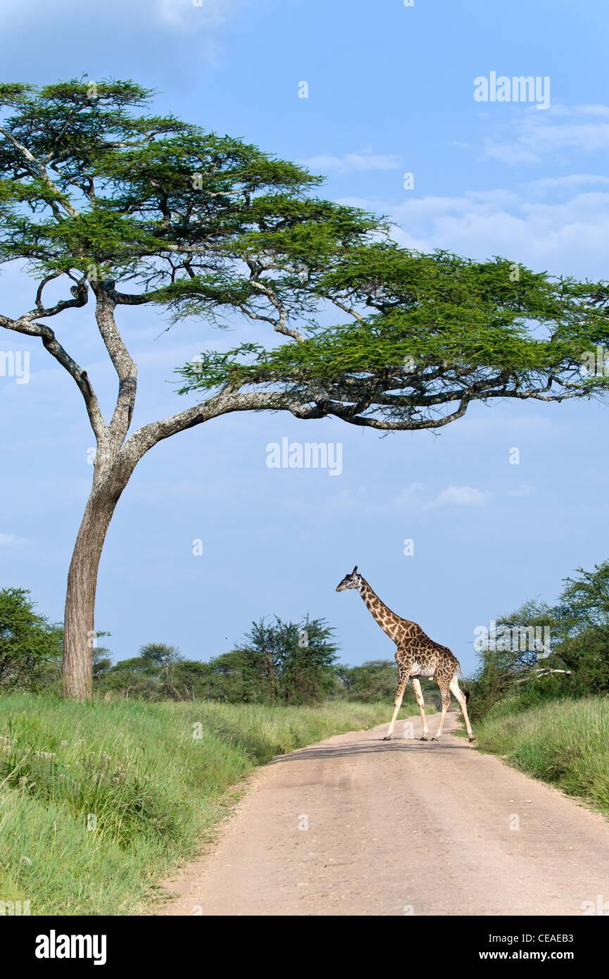 Uganda Giraffe Giraffa camelopardalis rothschildi crossing the road at Seronera in Serengeti, Tanzania - Stock Image