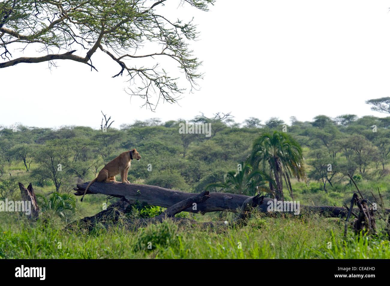 Lioness Panthera leo with a radio collar sitting on a fallen tree at Seronera in Serengeti, Tanzania - Stock Image