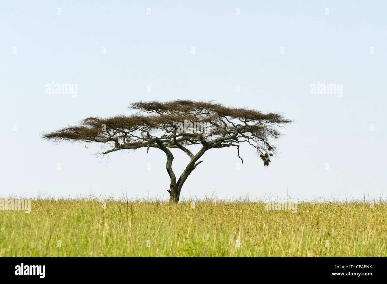 Serengeti gras plains with Umbrella Thorn Acacia (Acacia tortilis) at Seronera in Serengeti Tanzania - Stock Image