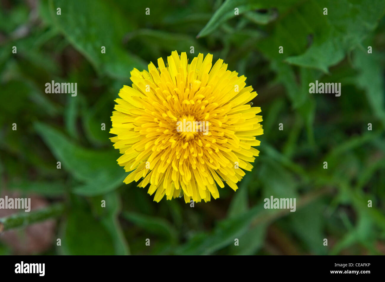 Yellow dandelion flower blooming with edible foliage in the background. - Stock Image