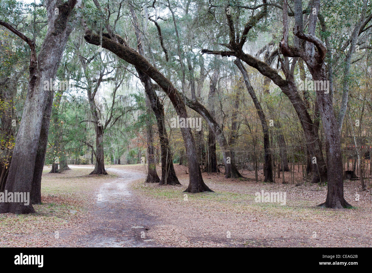 Living oaks near Santa Fe river, Quercus virginiana, Florida, United States, USA - Stock Image
