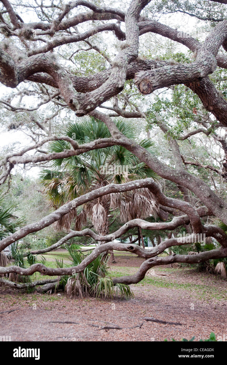 Big twisted branches of Live Oak, Quercus virginiana, growing near St Augustine lighthouse, Florida, United States, - Stock Image