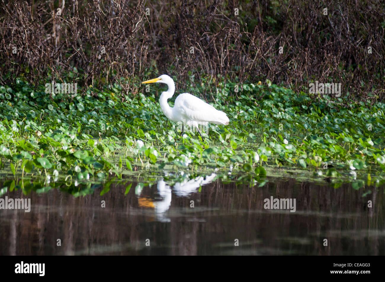 Great Egret bird floundering in Ichetucknee River, Florida, United States, USA, North America,  Great White Egret, - Stock Image