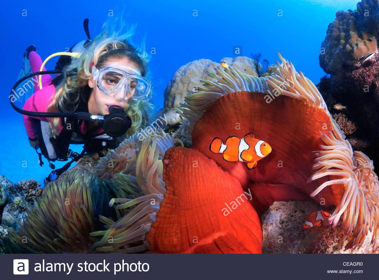 Ocellaris Clownfish (Amphiprion ocellaris), Great Barrier Reef - Stock Image