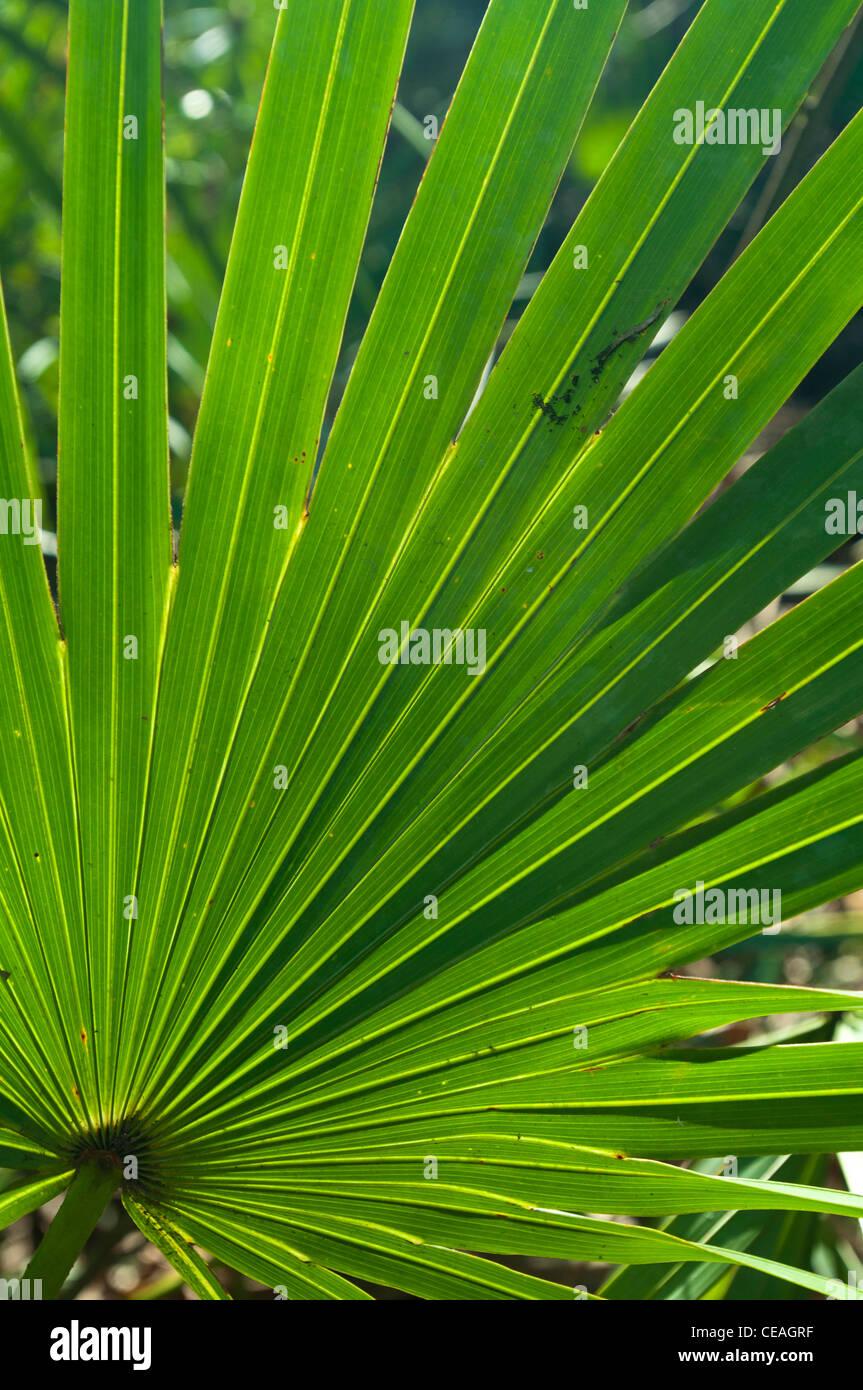 how to grow saw palmetto plant