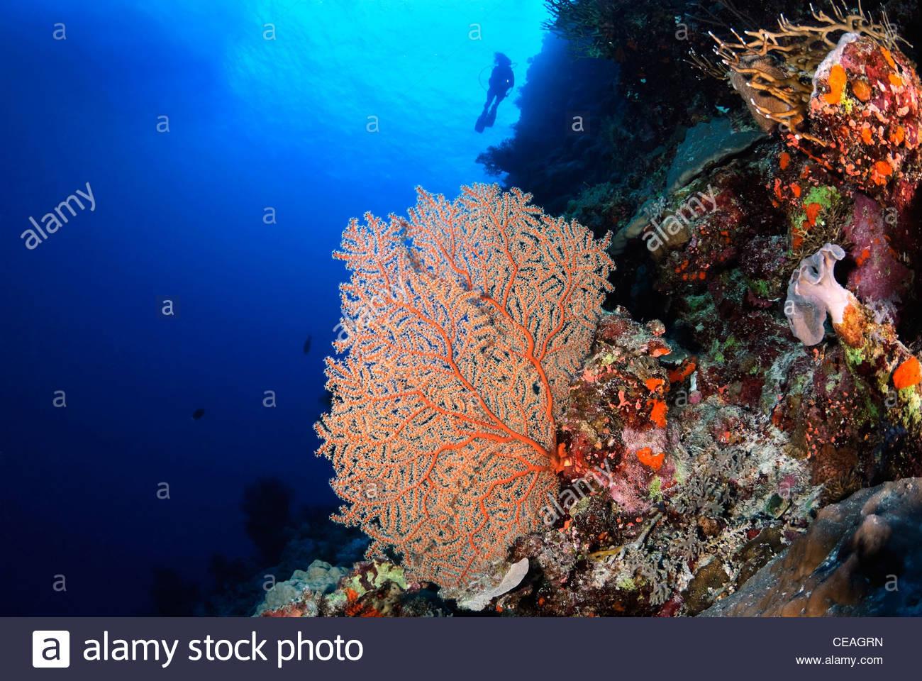 Coral Reef, Great Barrier Reef Queensland Australia - Stock Image