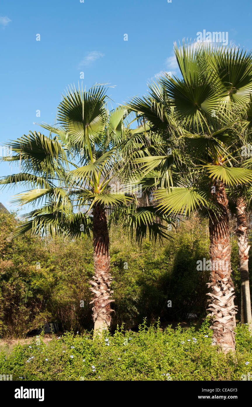 Palm trees growing  at University of Florida, Gainesville, Florida, United States, USA, North America - Stock Image