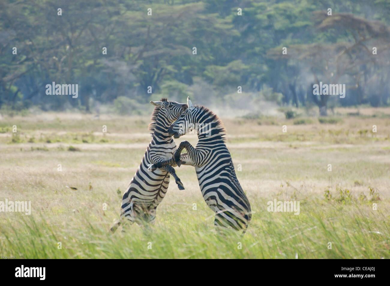 Two Plains Zebra stallions fighting for control of the harem in Lake Nakuru national park Kenya. - Stock Image