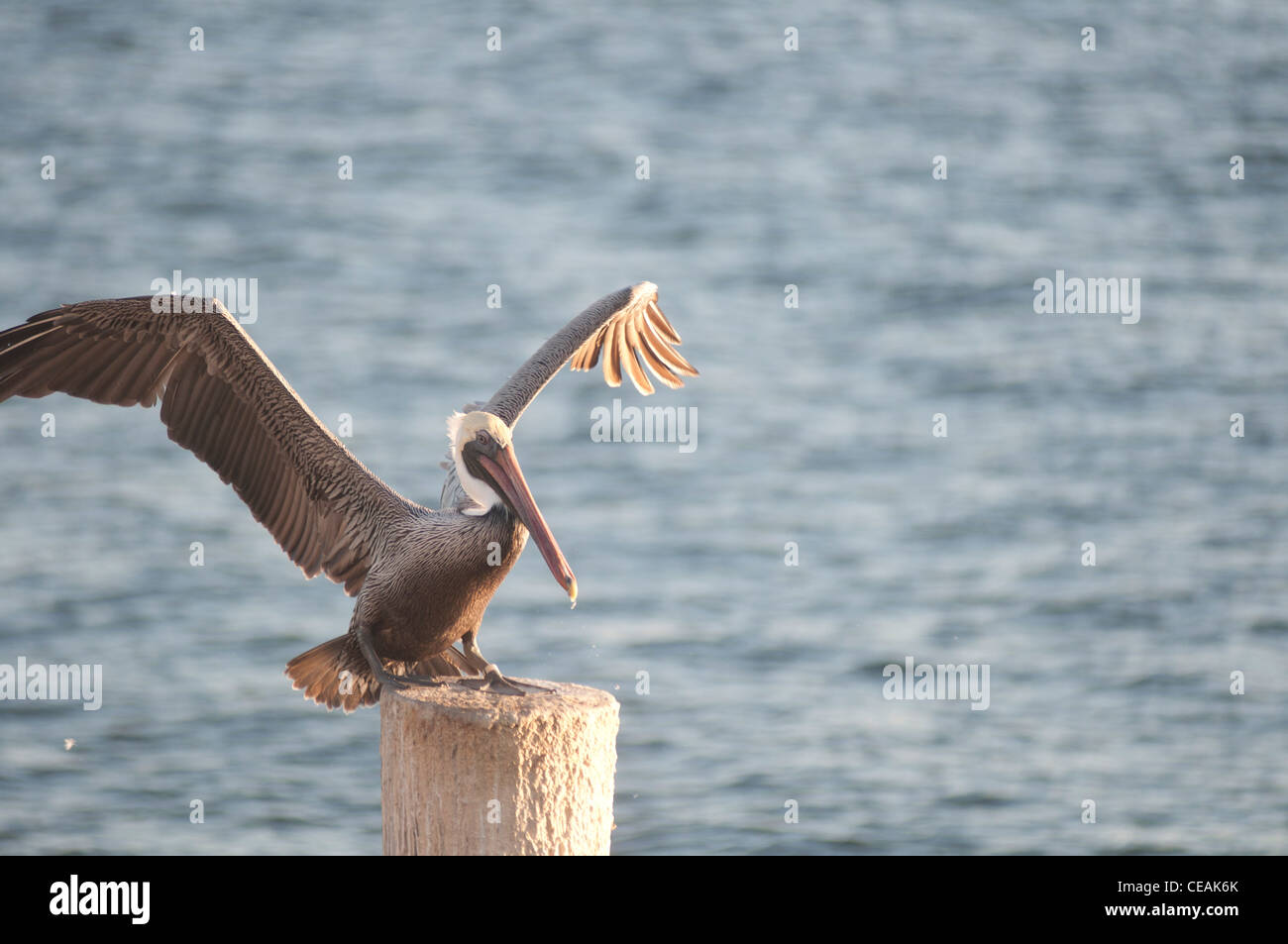 Brown Pelican, Pelecanus occidentalis, standing pole of Pier One, St Petersburg, Gulf of Mexico, Florida, North - Stock Image