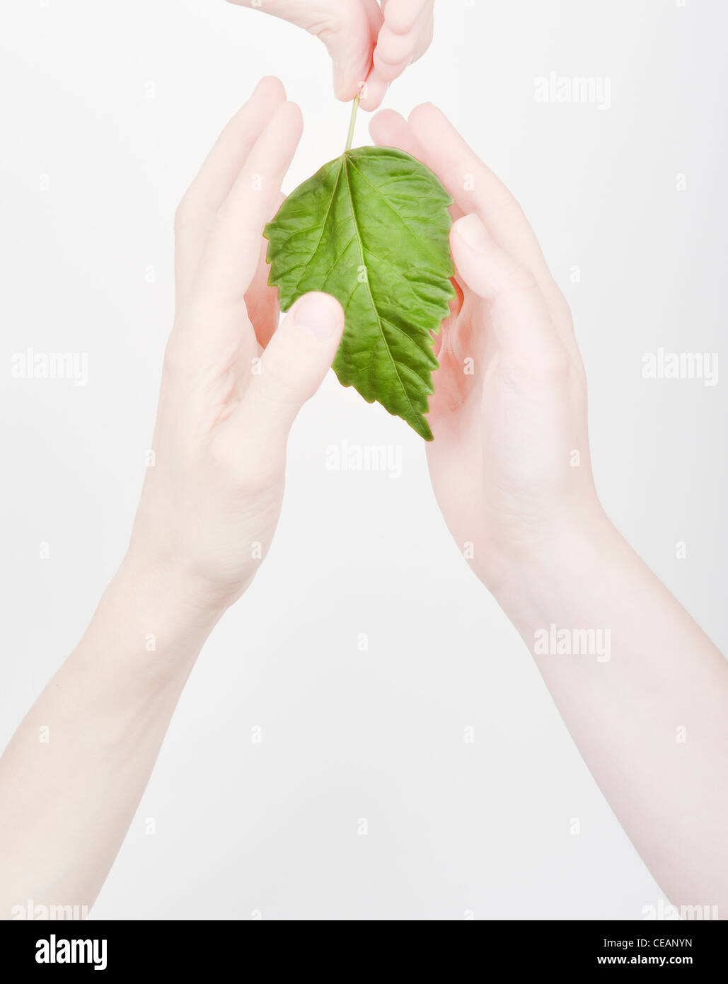 Hands shielding a green leaf - Stock Image
