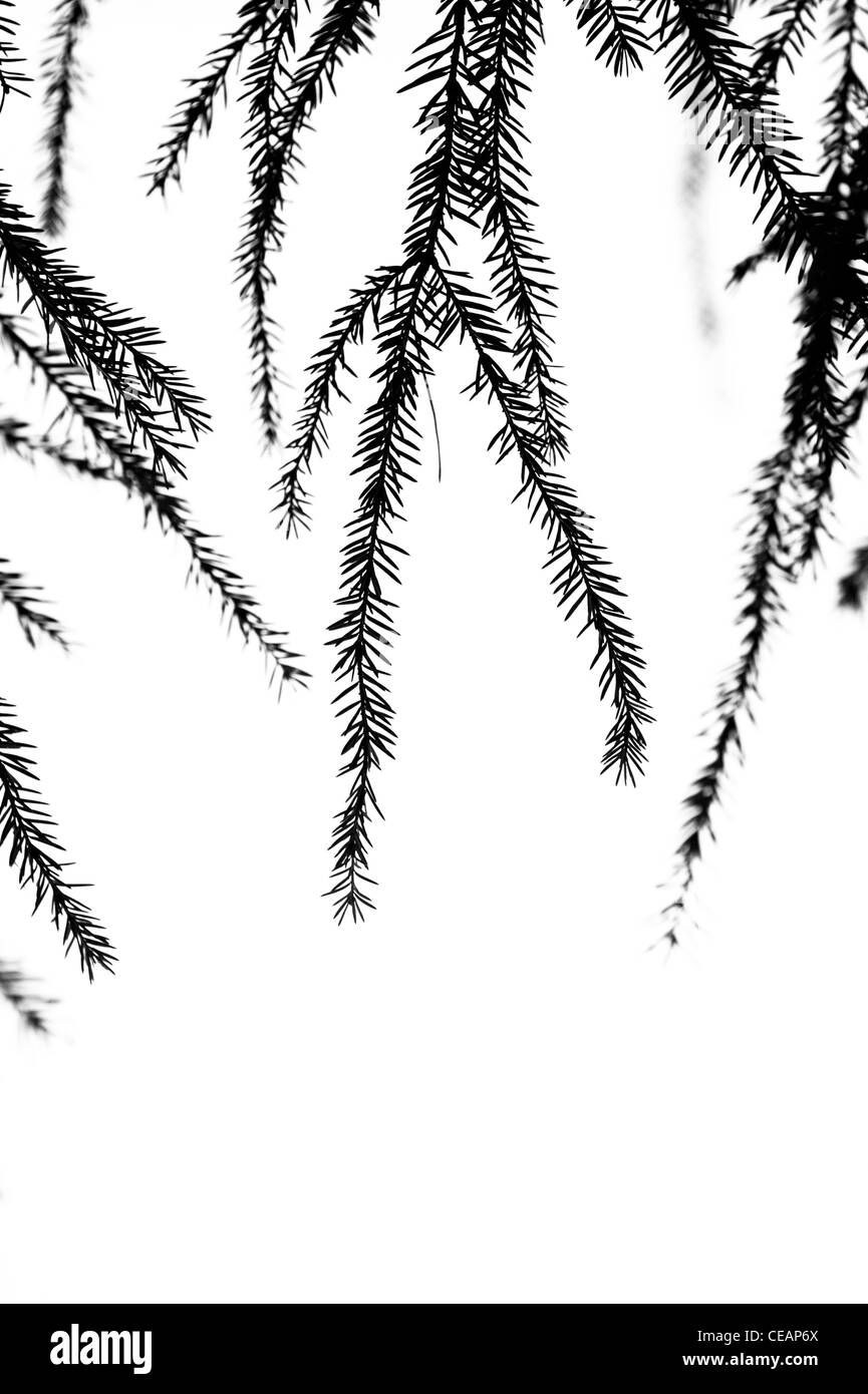 Fir branches - Stock Image