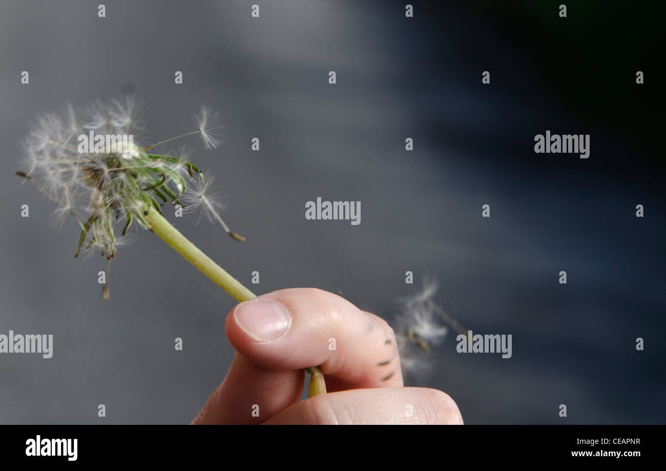 A hand holding a Dandelion as it is blown by the wind, Clones, Monaghan, Ireland - Stock Image