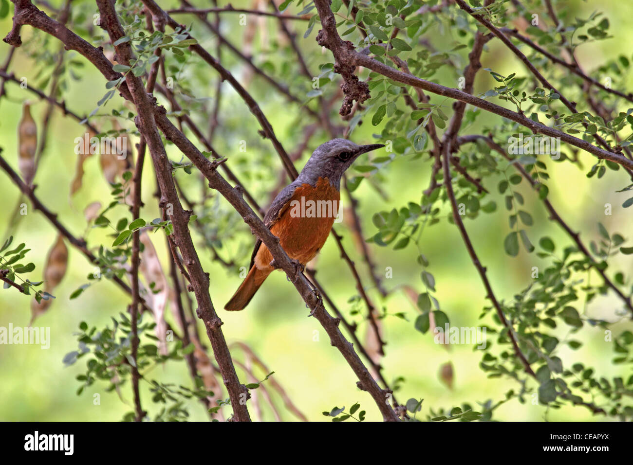 Short toed rock thrush in Namibia - Stock Image