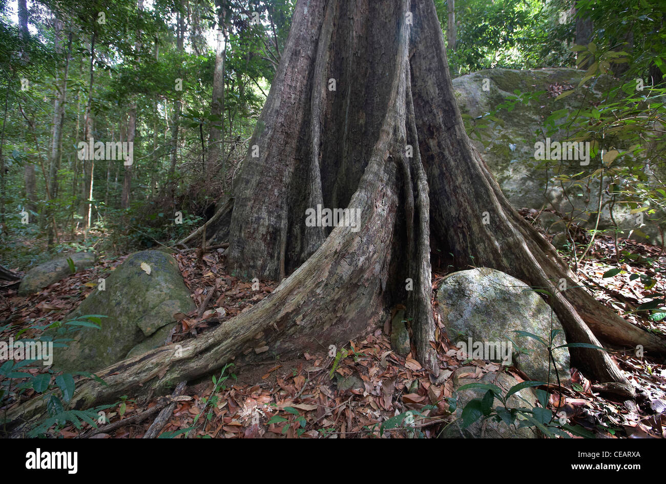 Buttress roots in the primary tropical rainforest, Rewa, Rupununi, Guyana,  South America