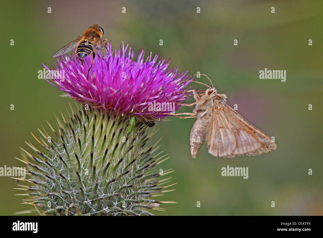Silver Y Moth ( Autographa gamma ) and Honey Bee ( Apis mellifera ) on Spear Thistle ( Cirsium vulgare ) - Stock Image