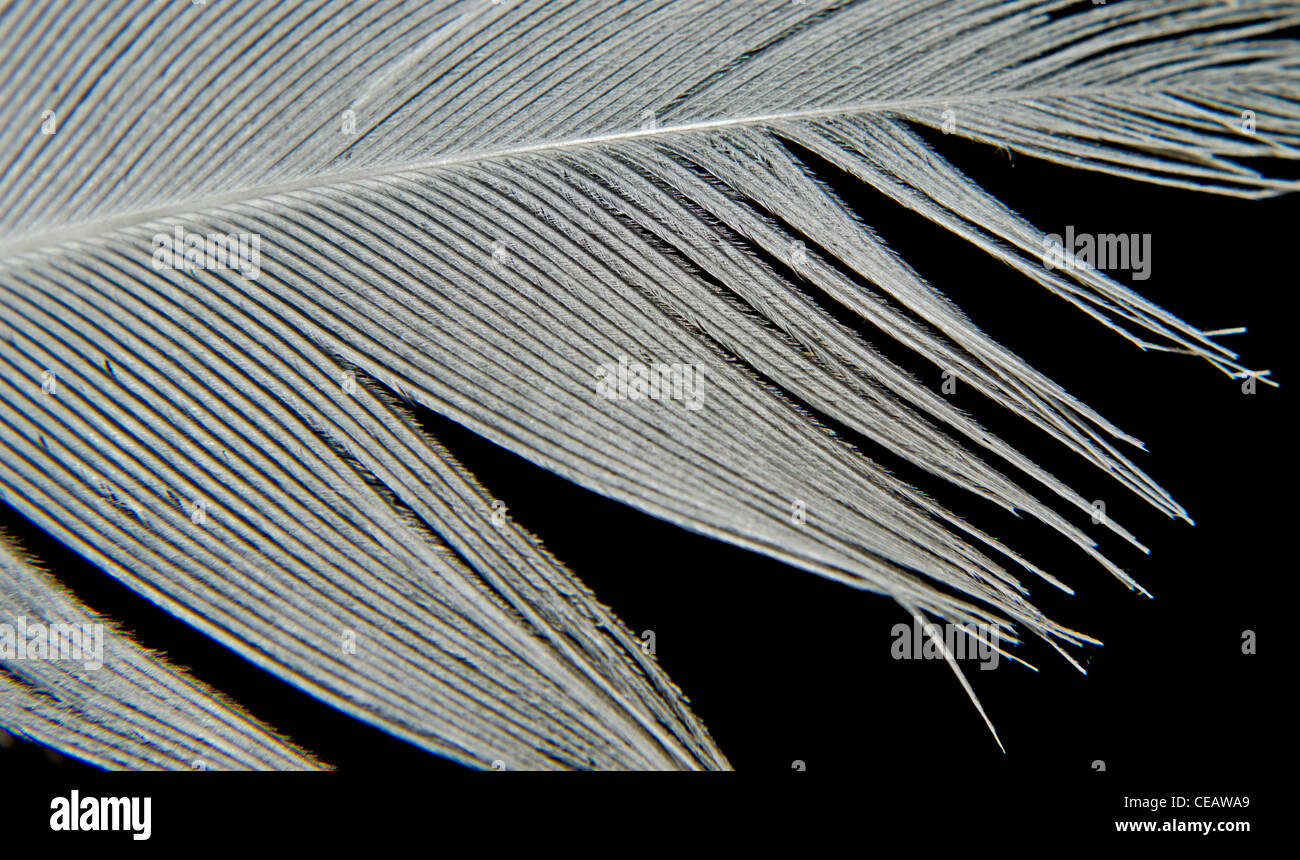 Feather. Macro of part of a bird's feather on a black background. - Stock Image