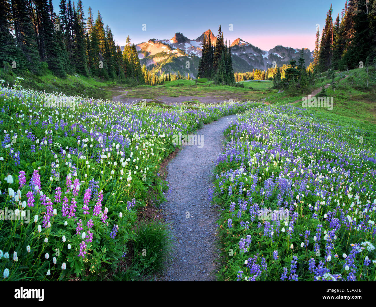 Wildflowers, path and Tatoosh Mountains. Mt Rainier National Park, Washington - Stock Image