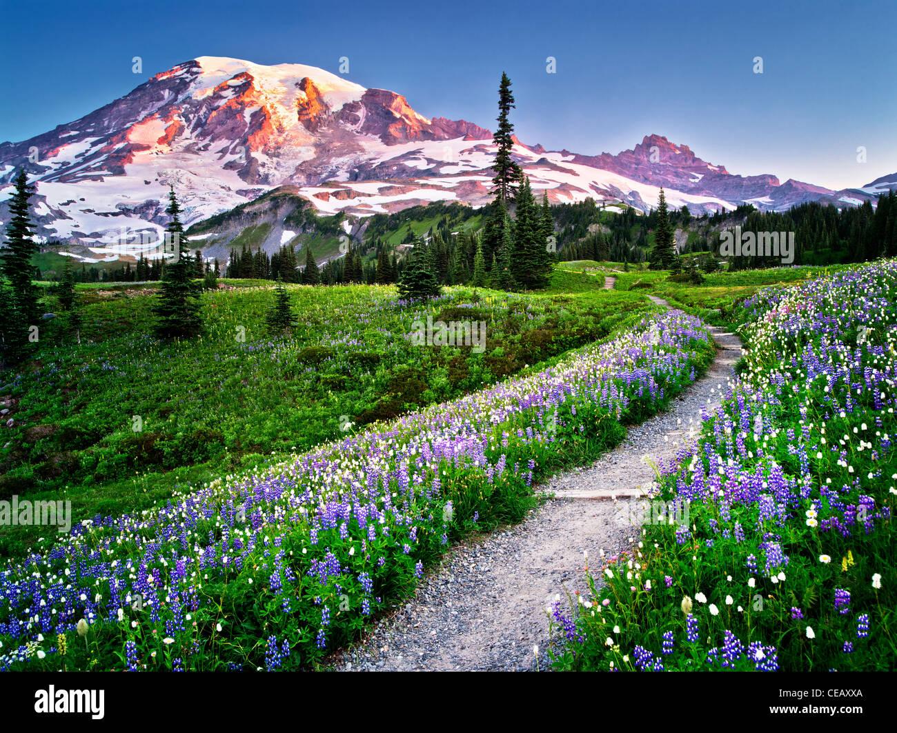 Path and wildflowers with Mt. Rainier. Mt. Rainier National Park, Washington - Stock Image