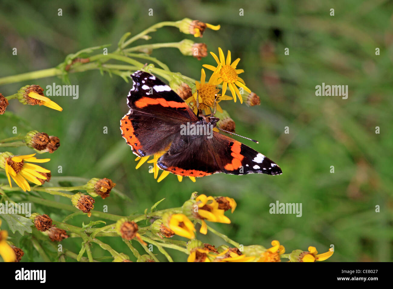 Red Admiral ( Vanessa cardui ) butterfly on Common Ragwort ( Senecio jacobaea ) wild flower - Stock Image