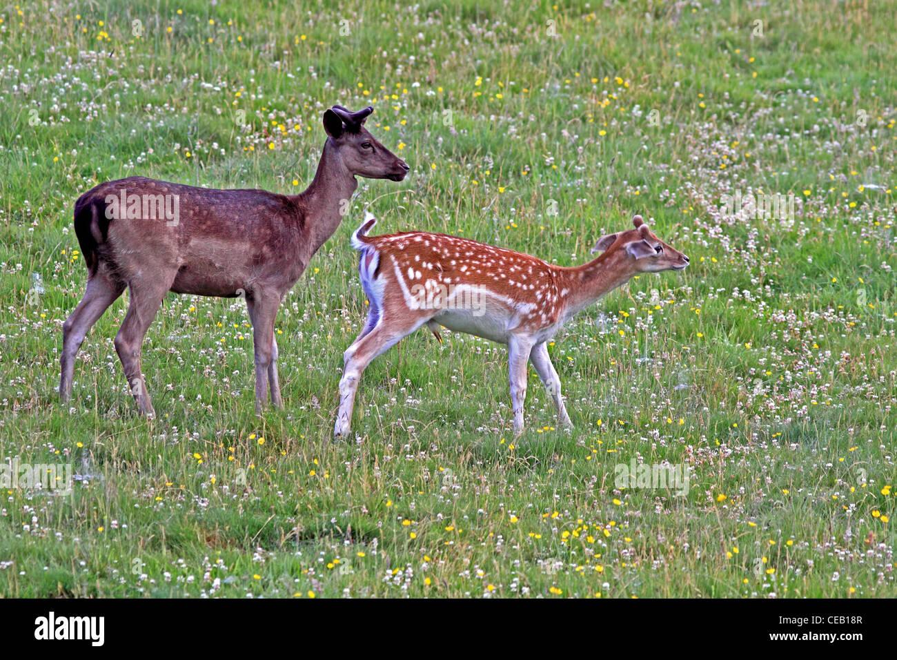 Young, Fallow Deer ( dama dama ) Bucks, in meadow - Stock Image